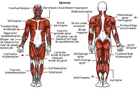 Weet jij dit over de ruim 600 spieren in jouw lichaam?